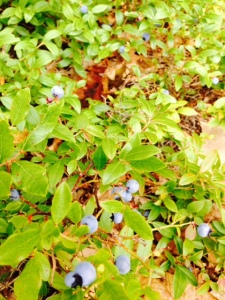 We helped ourselves to the wild blueberries that grew everywhere among the rocks