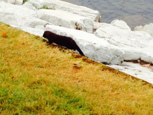 We saw this otter climbing around the rocks foraging for food immediately adjacent to where the Joint Adventure was docked
