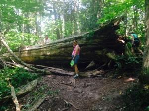 A fallen cedar tree along the hiking trail
