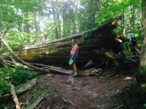A fallen cedar tree along the hiking trail
