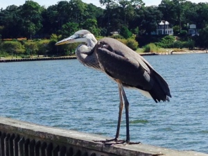 This Great Blue Heron was perched on the railing of he long pier in Fairhope that extends out into Mobile Bay. There is a nice, casual restaurant on stilts over the Bay about halfway out on the pier