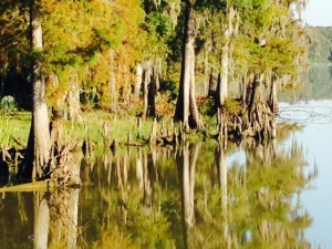The last 10 miles or so of the Mobile River run through an enormous cypress swamp