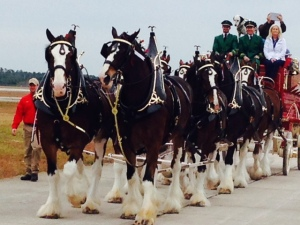 What airshow would be complete without the Budweiser Clydesdales marching by?