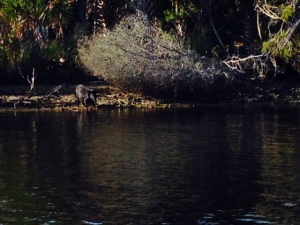 Look closely and you'll see a wild boar that we saw along the shore.  There is a baby boar there as well, but it is behind the mother in this picture.  While out fishing, we also saw three large alligators, several large turtles, and a bald eagle