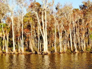 The banks of the Suwannee River are lined with cypress trees and beautiful, natural scenery
