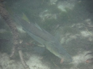 In addition to the manatees, we saw many fish - this is a good-sized snook that swam beneath us. Where is my fishing rod when I need it?