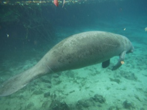 Manatees propel themselves with their tail, then steer with their two front flippers