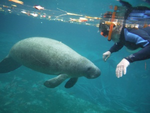 This manatee swam directly under me - for a minute I thought I was going to get a ride...