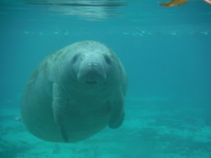 This manatee approached me with focused curiosity - maybe it was the beard...