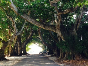 The banyan trees literally create a tunnel through which aptly-named Banyan Road passes.