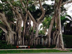 This is all one banyan tree in downtown Boca Grade!