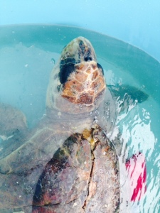 This enormous sea turtle was hit by a boat - you can see the damage to his shell.  It will take about 6 months, but they will repair the shell, nurse him back to health, and return him to the sea.
