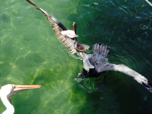 A pelican catching the fish carcass being thrown into the water next to the fish cleaning station.