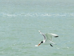 Incredibly, this is a bird that  picked live baitfish right off the hook in the air as it was being cast - these birds are incredibly fast and accurate and persistent in their pursuit of food.