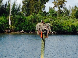 Channel markers are a favorite nesting place for Osprey.  We often see chicks in the nest as we pass by.