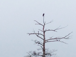 A bald eagle reins over the bayou -