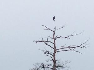 A bald eagle reins over the bayou -