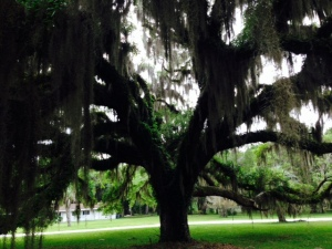 The plantation grounds surrounding the marina are adorned by scores of enormous Live Oaks, estimated to be 250 - 300 years old. ry as I did, pictures just canno capture the majesty and magnificence of these enormous trees, shrouded in hanging Spanish moss.