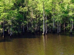 Cypress trees growing out of the water along the banks of the river