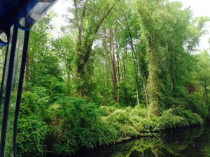 Enormous cypress trees in the swamp as seen from the Canal